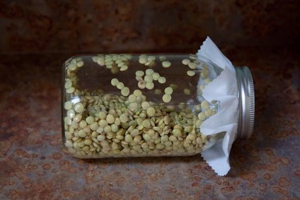 lentil sprouts
