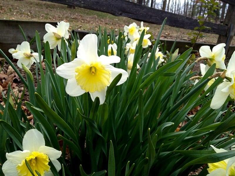 daffodils flowers stock