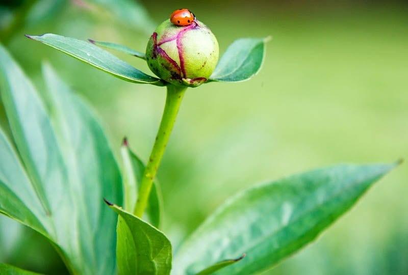 lady bug flower stock