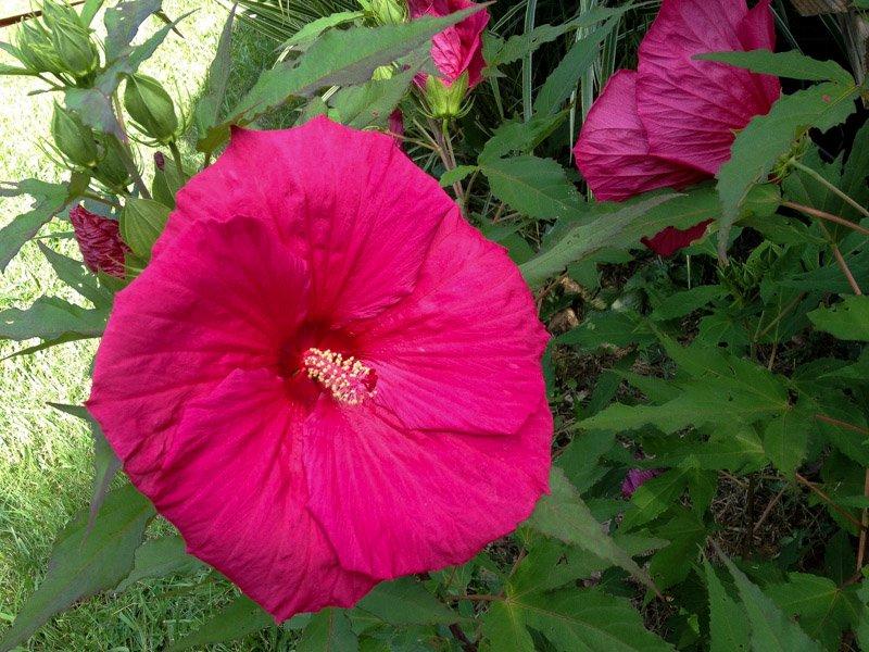flower hibiscus stock