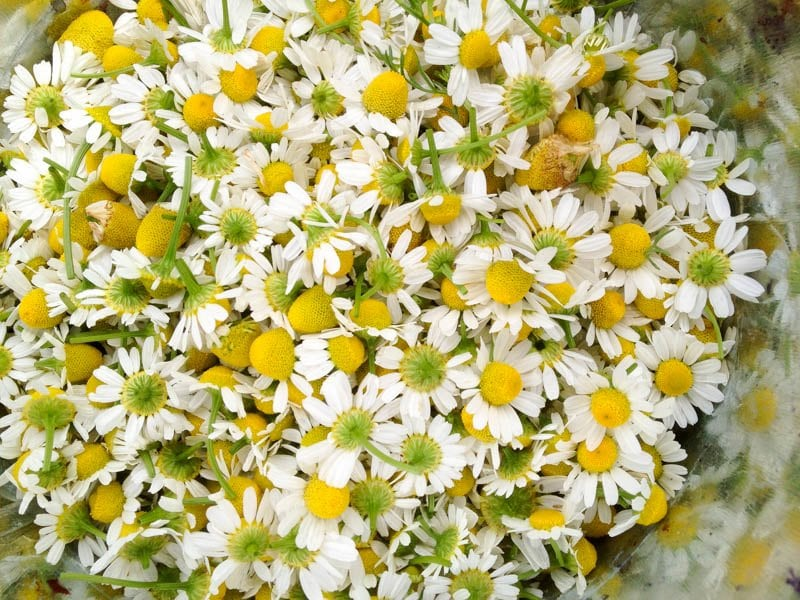 chamomile flowers stock