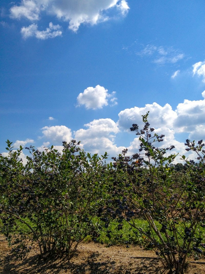 blueberries sky
