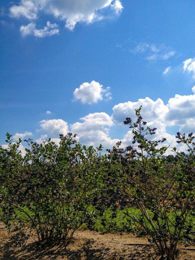 blueberries sky