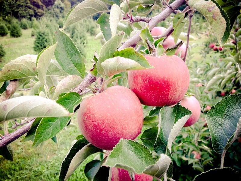 apples stock