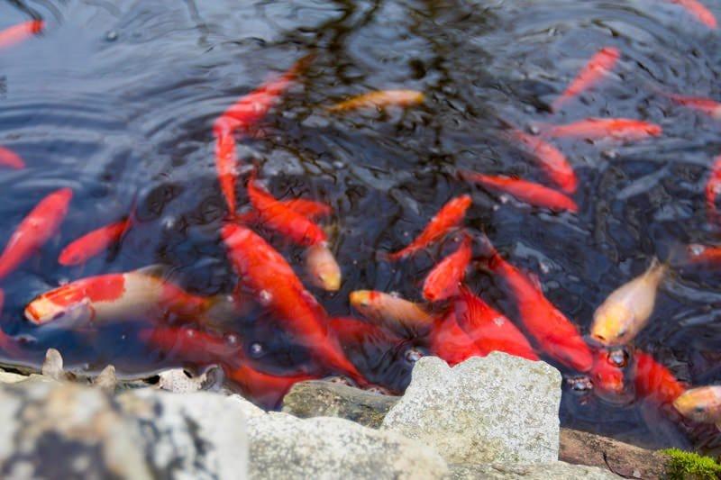 fish pond stock