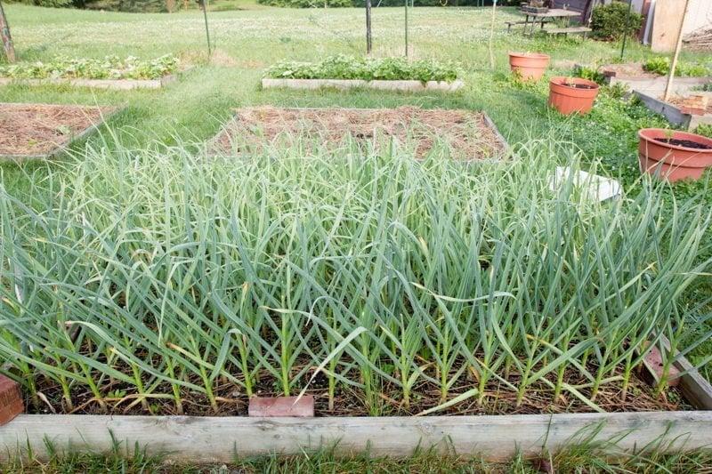 garlic bed garden