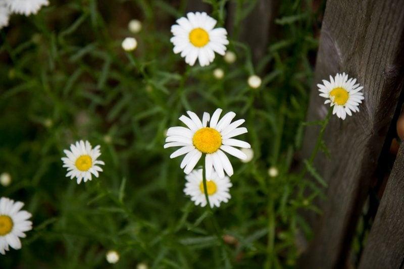 daisy stock flower