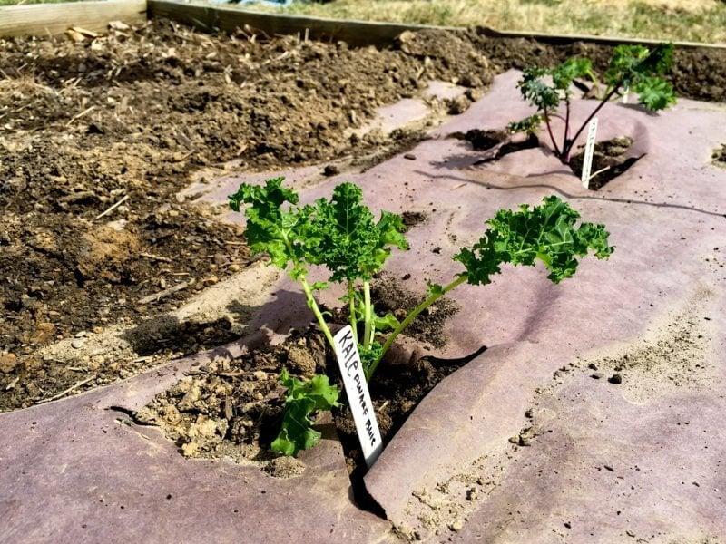 Kale Garden