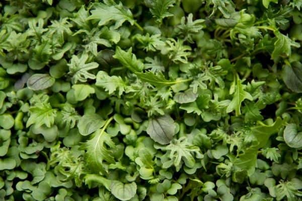 How To Grow Microgreens Indoors Gardening Wholefully
