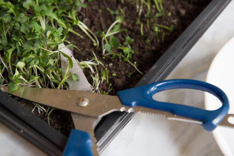 Scissors start to cut some of microgreens out of a black flat filled with dirt.