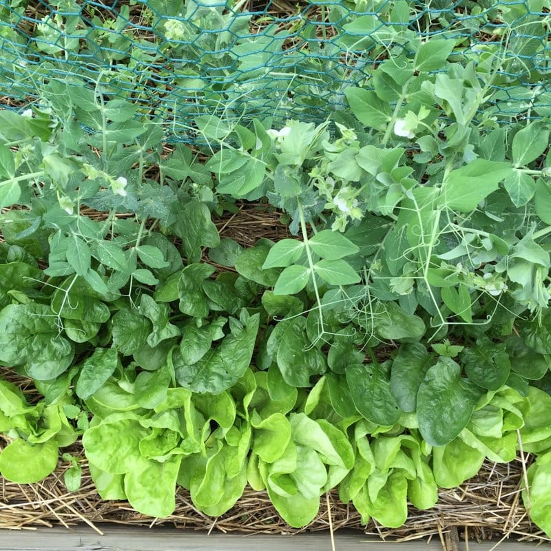 Spinach, Lettuce and Peas