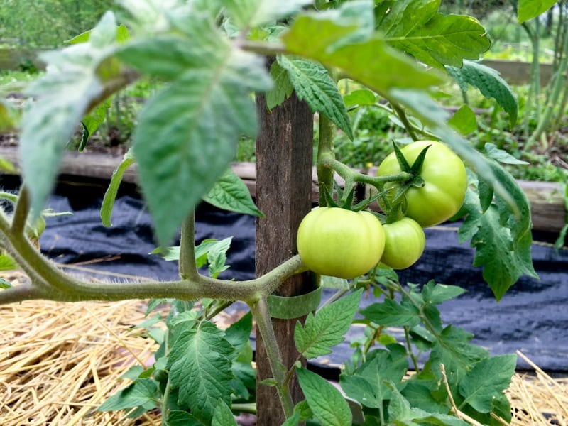 Cheater Tomato