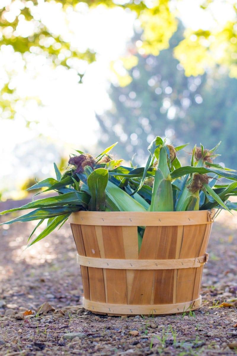 Basket full of ears of corn sitting outside.