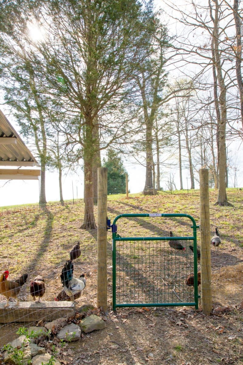 How To Start Raising Backyard Chickens In 7 Simple Steps Wholefully Take A Look At What Each Part Of The Chicken Is Called An Option Between Cooped And Free Range Penned Rangingwhere Roam Large Run Or Pen Throughout Day Then Are Shut Into Coop