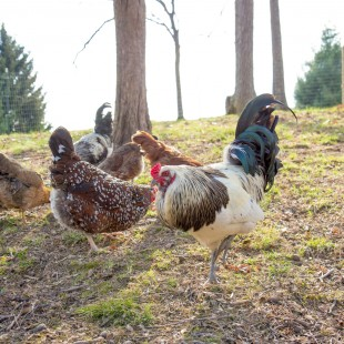 10 Things I've Learned In My First Year of Having Backyard Chickens