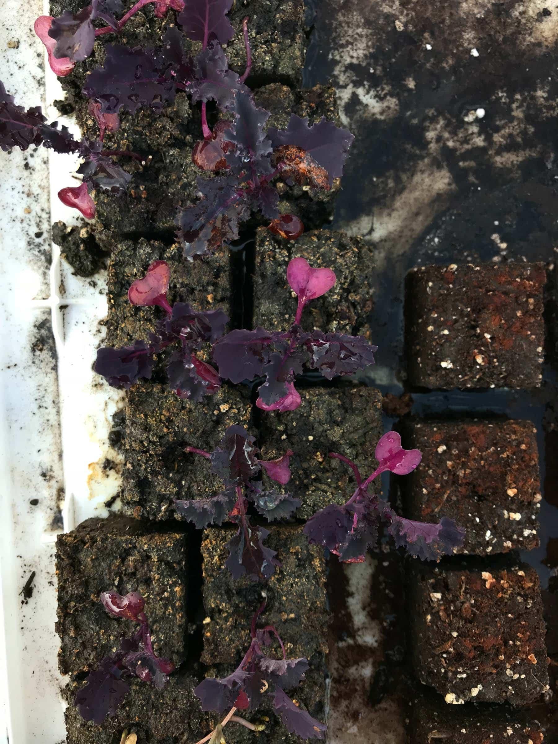 Scarlet kale seedlings in seed blocks - overhead shot