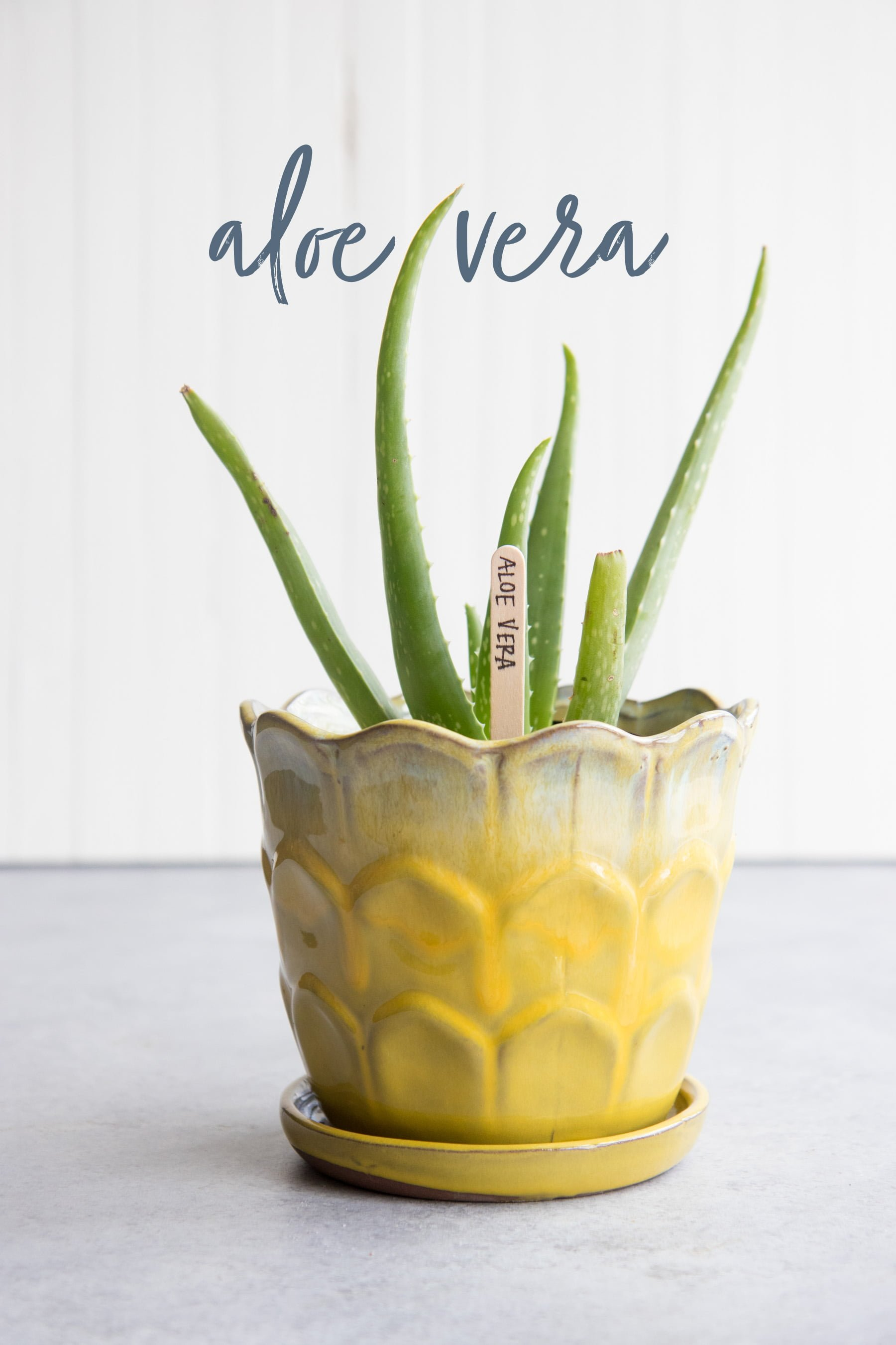 Aloe vera in a yellow flowerpot, with a text overlay