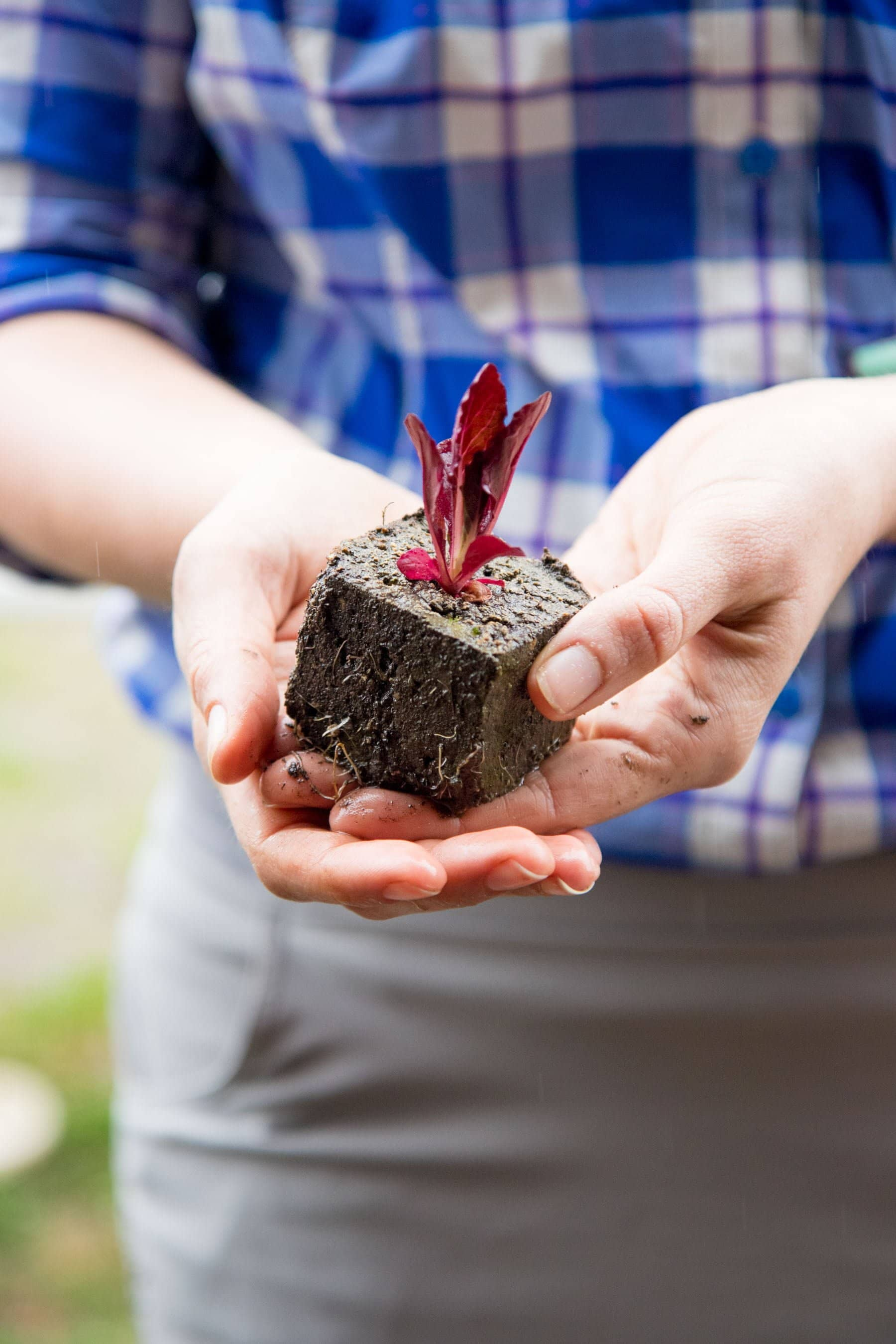 Hands holding soil block with red lettuce plant