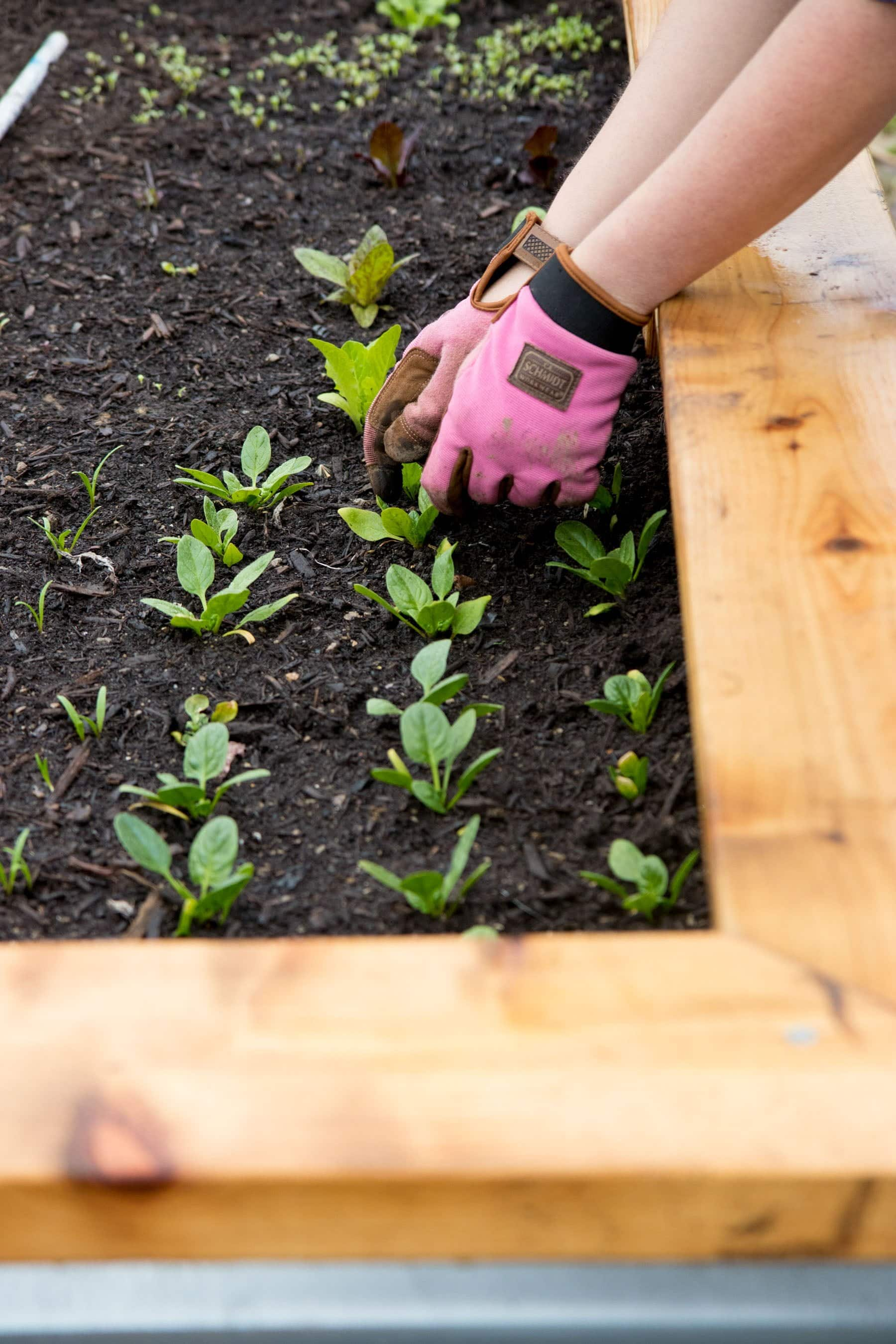 Hands in pink gardening gloves planting spinach in a raised bed