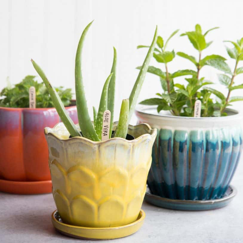 Aloe vera in a yellow pot, lemon balm in a red-orange pot, and peppermint in a blue pot