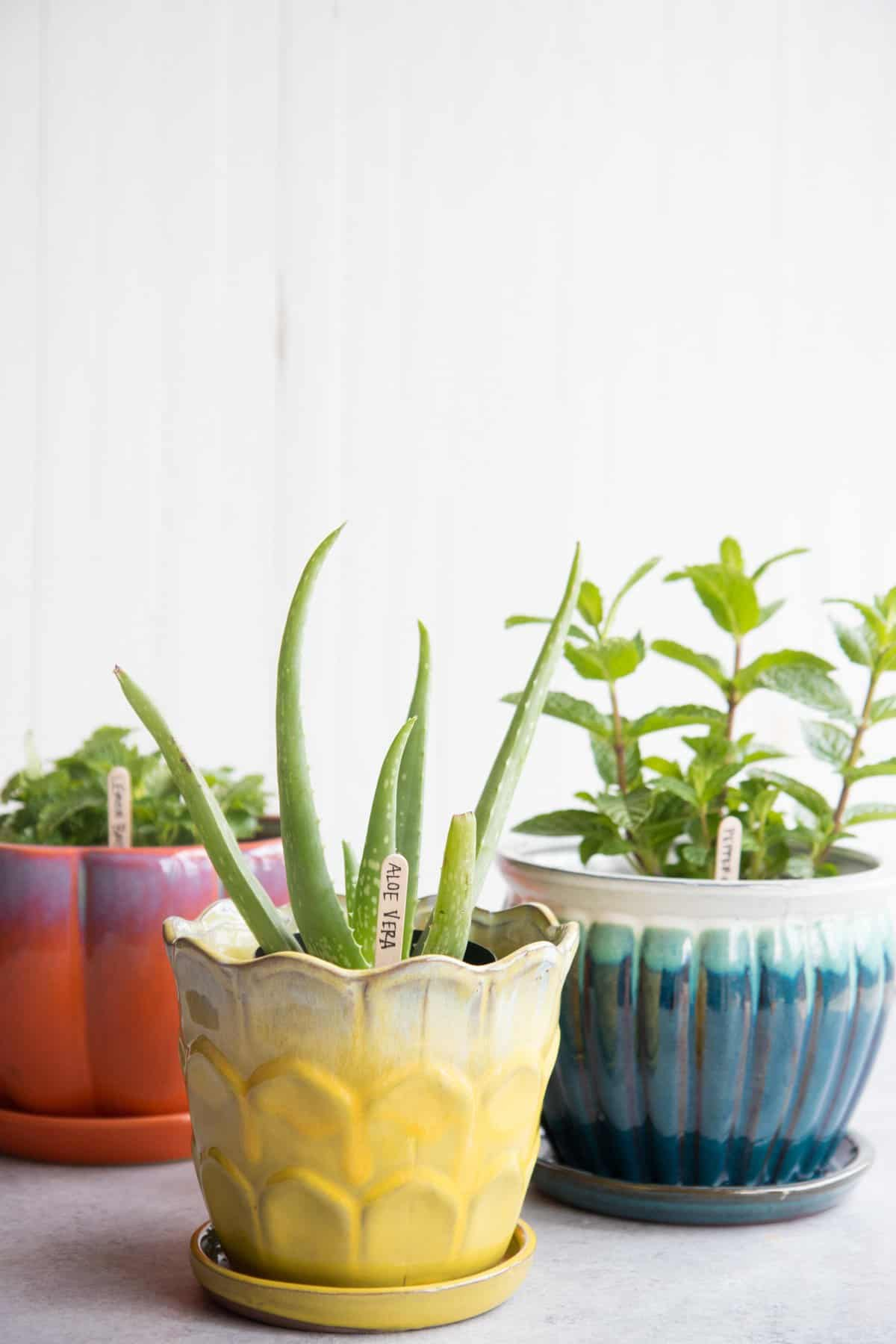 Aloe vera in a yellow pot, peppermint in a blue pot, and lemon balm in a red-orange flower pot