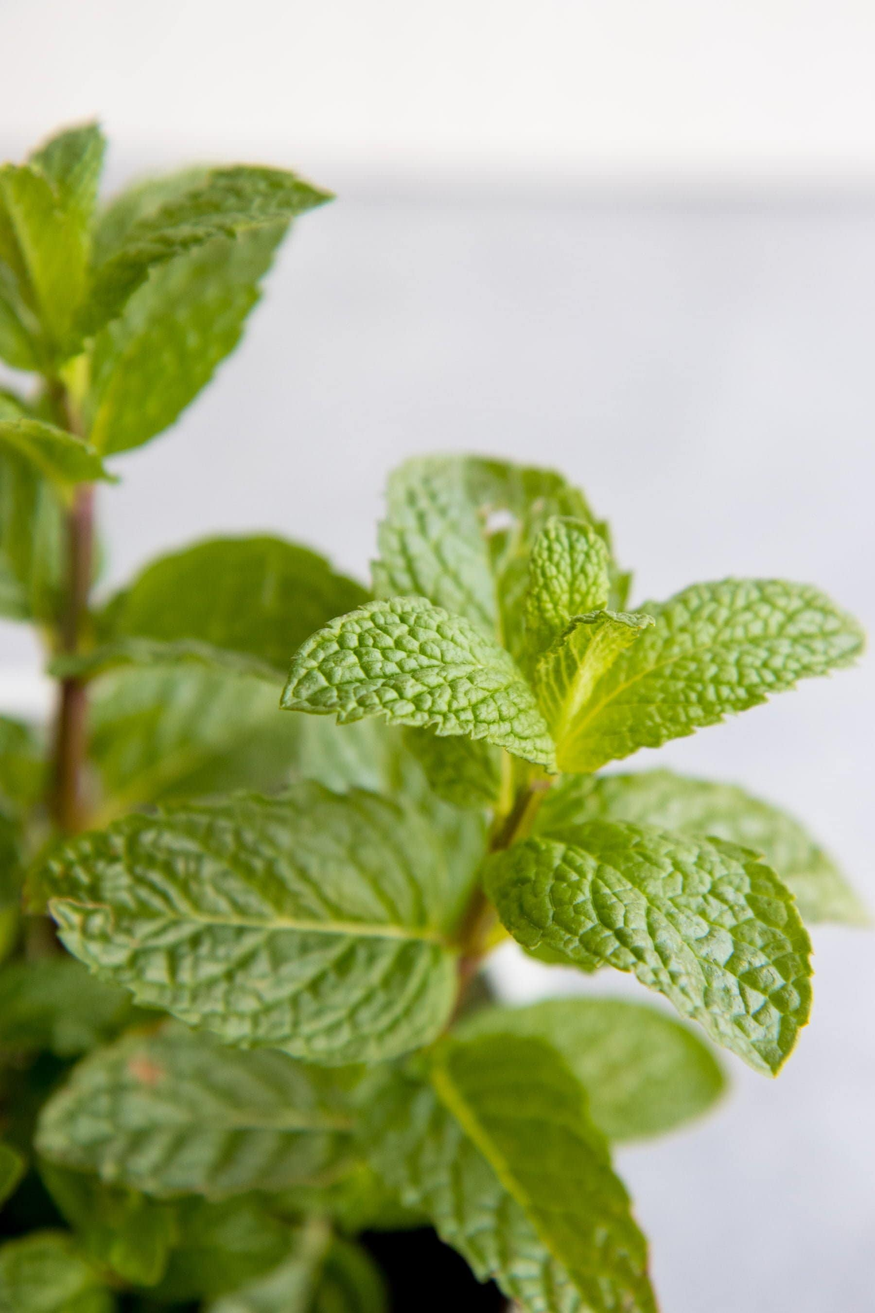 Close up shot of peppermint plant
