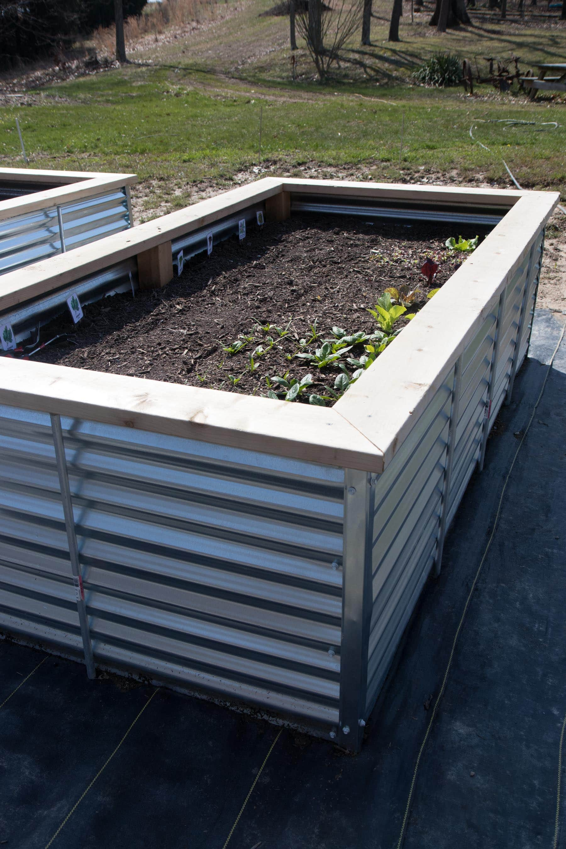 Side angle shot of a galvanized steel raised bed, planted with greens