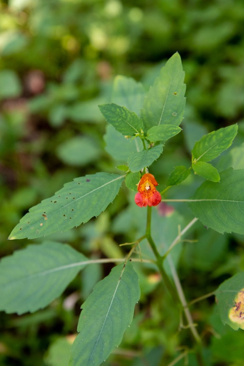 Close-up shot of a jewelweed flower