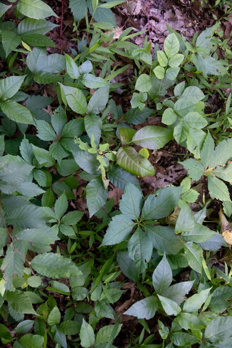Patch of poison ivy among other plants