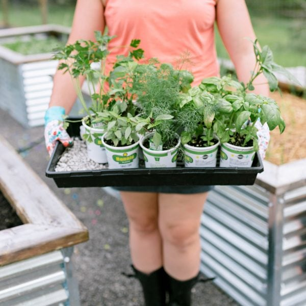 Woman holding a tray full of vegetable seedlings for organic vegetable gardening.