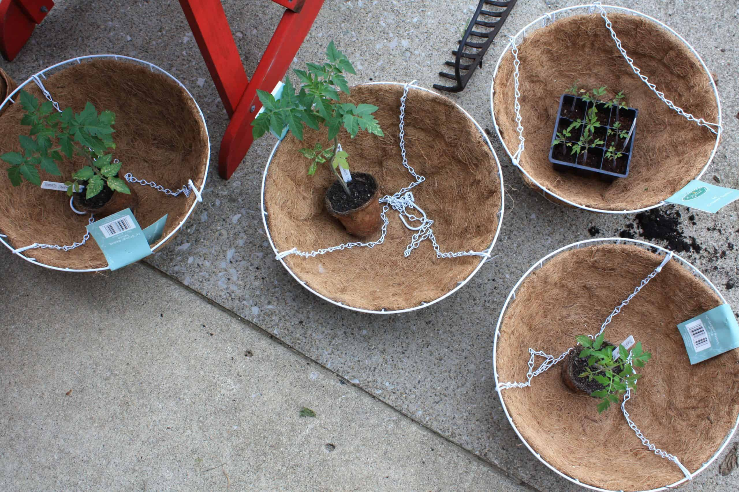 Starter plants sit in hanging baskets, ready to be planted.